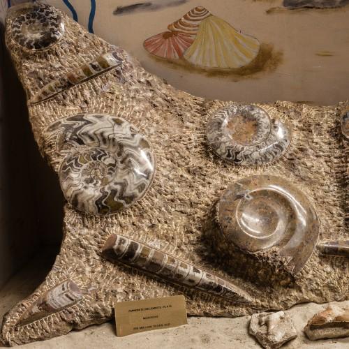 Ammonite_Belemnite_Plate
