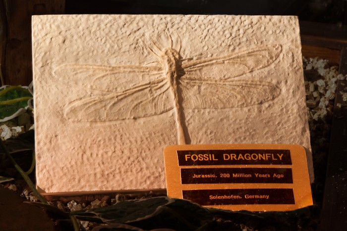 Fossil_Dragonfly