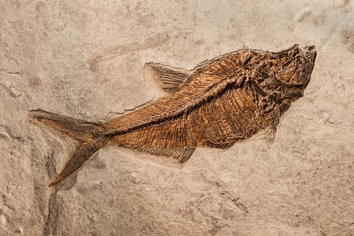 Fossilised_Fish_2