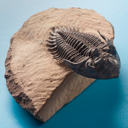 Trilobite_Metacanthina_Issoumourensis